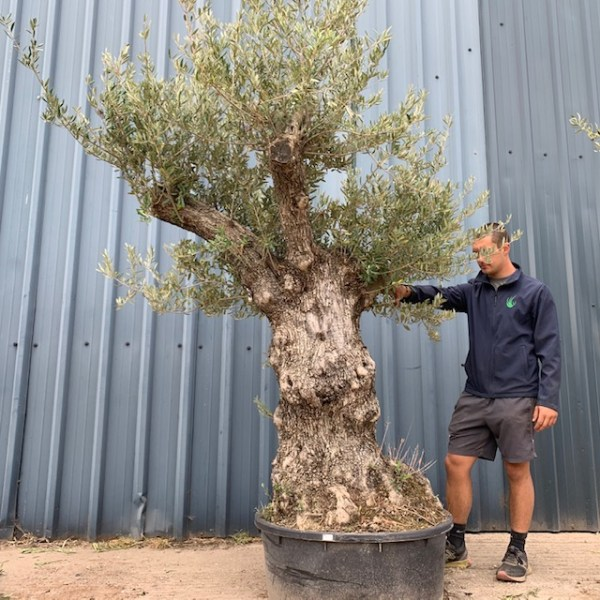 Olive Tree Specimen D9