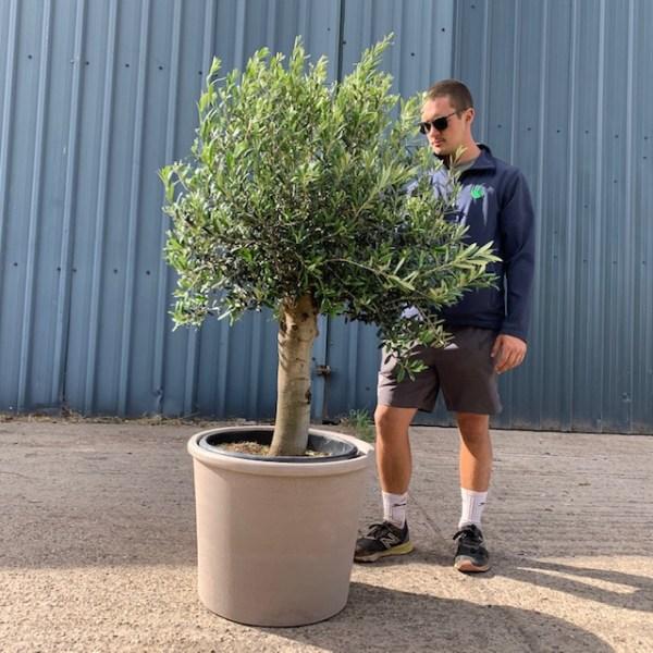 Olive Tree Collection V210