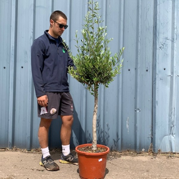 Olive Tree Half Standard - chunky Trunk