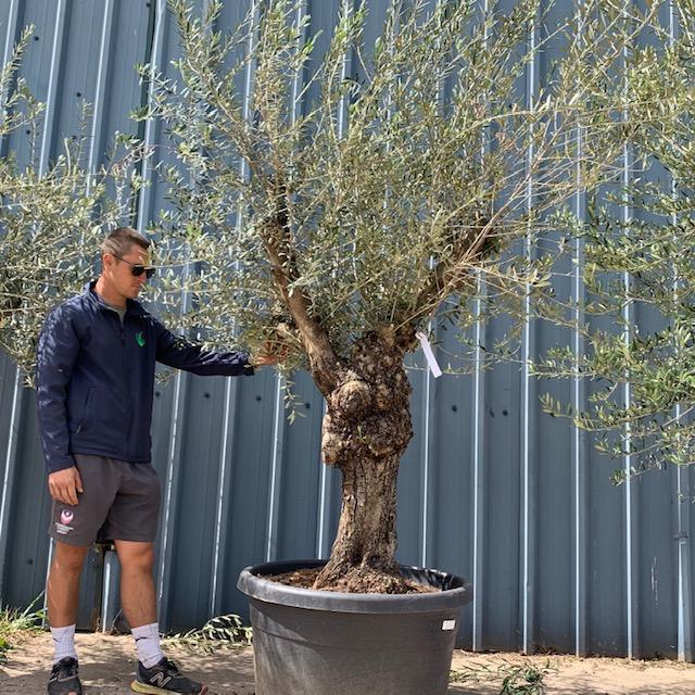 Olive Tree Specimen L19