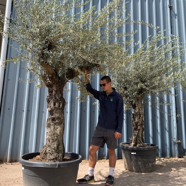 Olive Tree Specimen L20