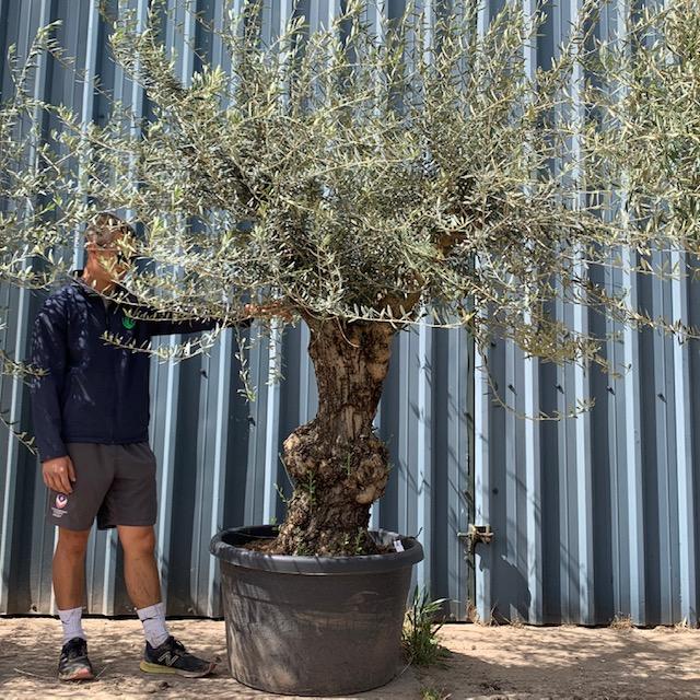 Olive Tree Specimen L21