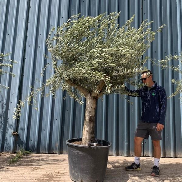 Olive Tree Specimen L224