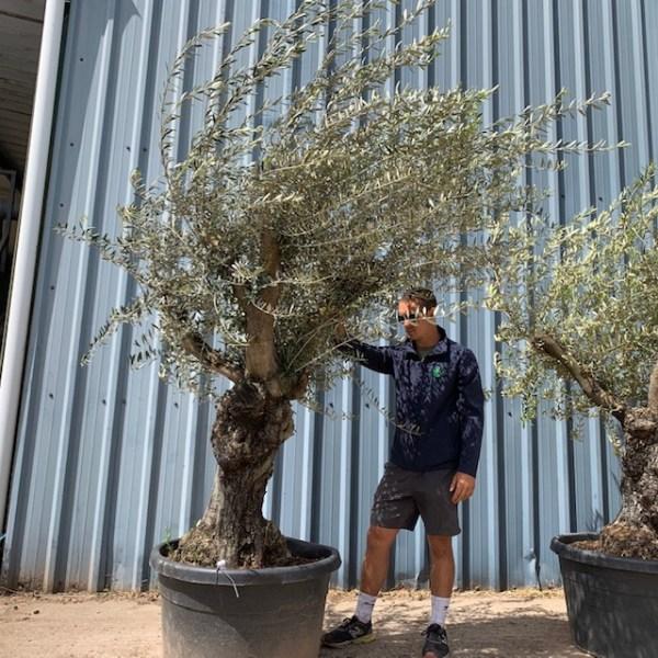Olive Tree Specimen L25