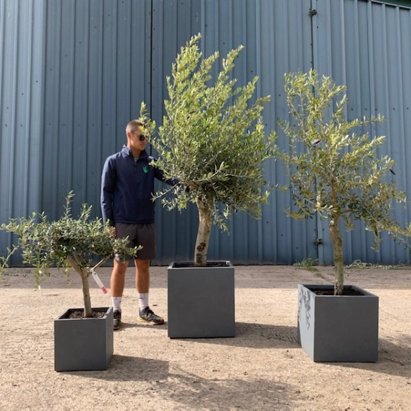 Olive Tree Patio Collection in Grey Fibre Clay cubes L413