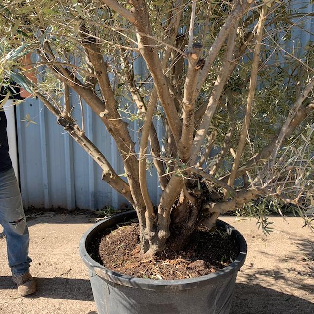 Olive Tree Multi- stem Specimen L502