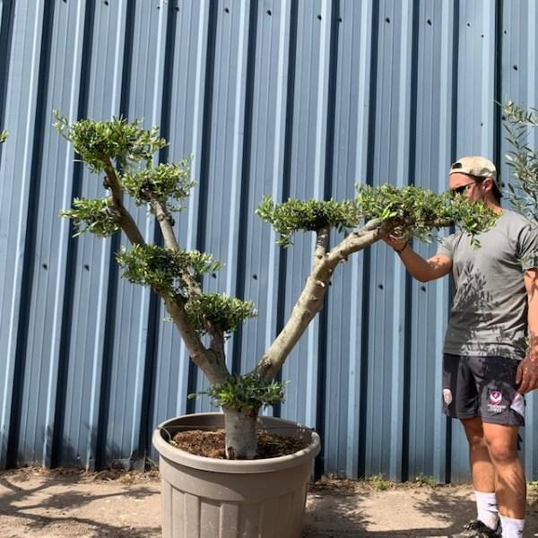 Olive Tree Cloud pruned Specimen L591