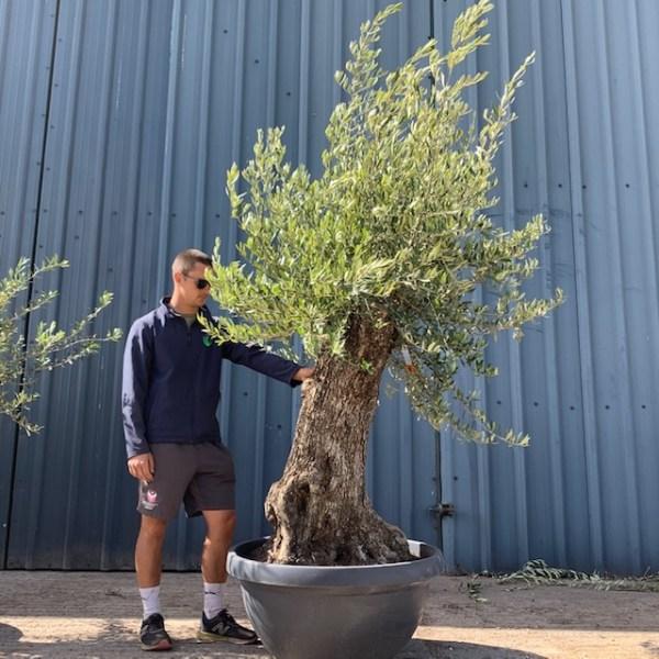 Olive Tree Specimen L597