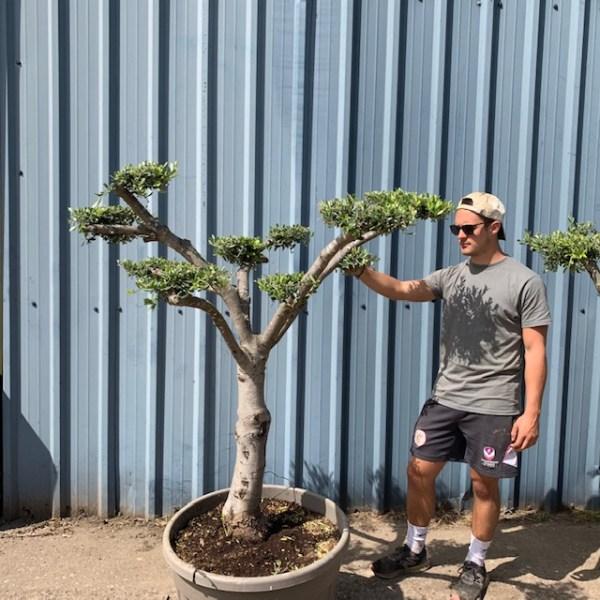 Olive Tree Cloud Pruned Specimen L616