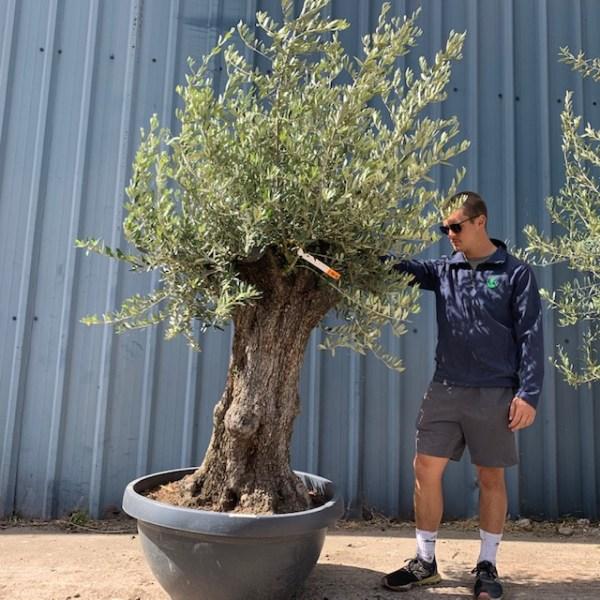 Olive Tree Specimen L618