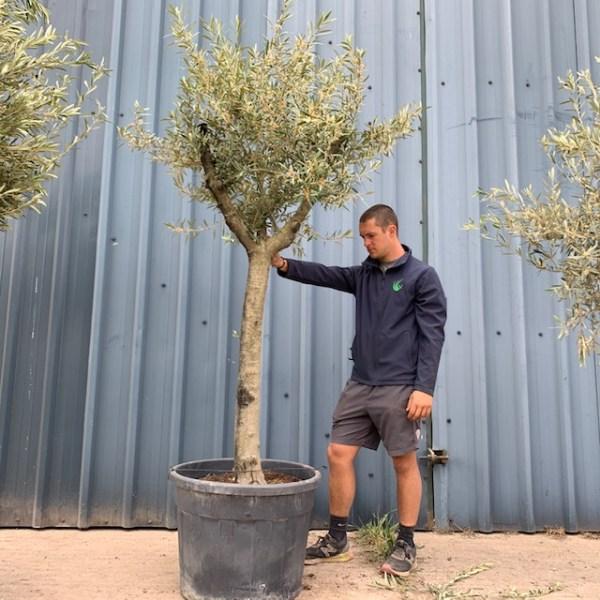 Olive Tree Specimen L626