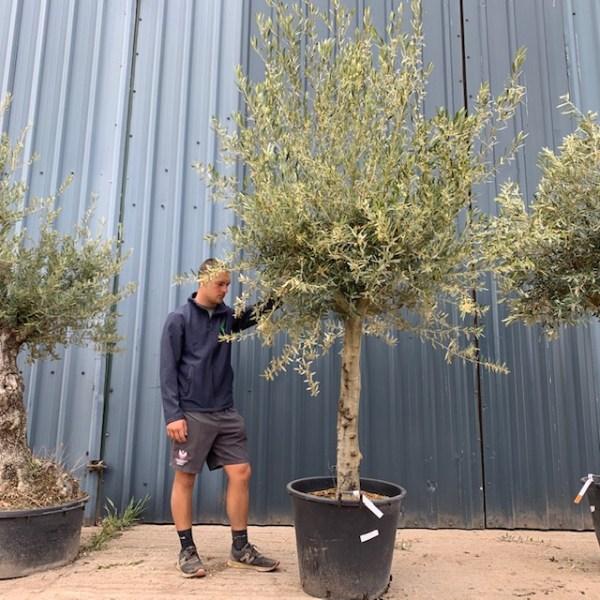 Olive Tree Specimen L629