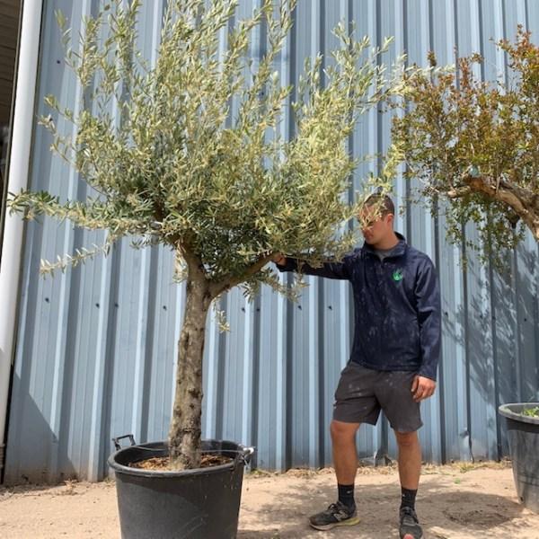 Olive Tree Specimen L631