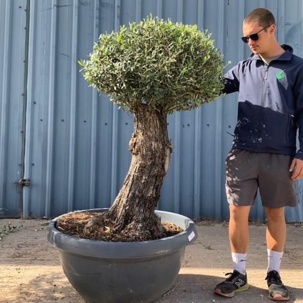 Olive Tree Specimen L637