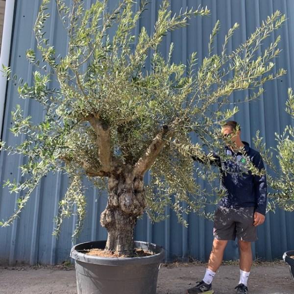 Olive Tree Specimen L638