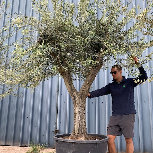 Olive Tree Specimen L743