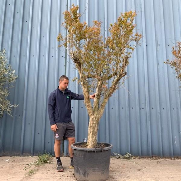 Hardy Pomegranate Specimen L754
