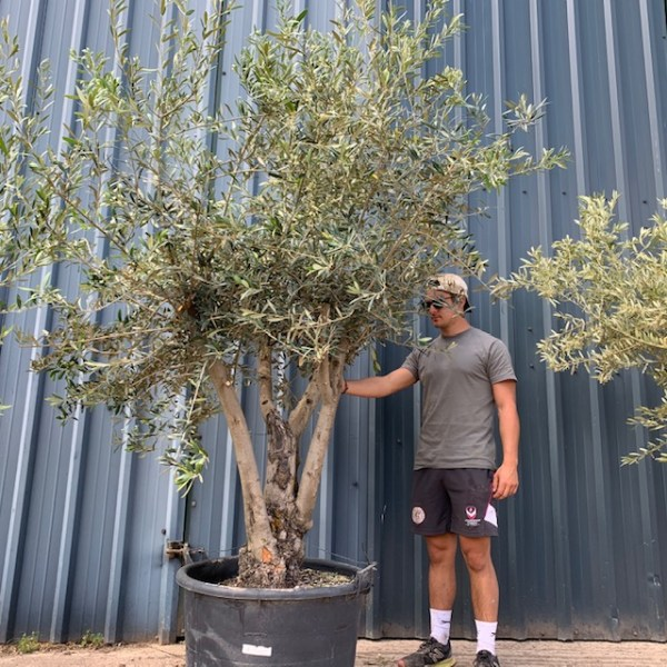 Olive Tree Multi-stem Specimen L773