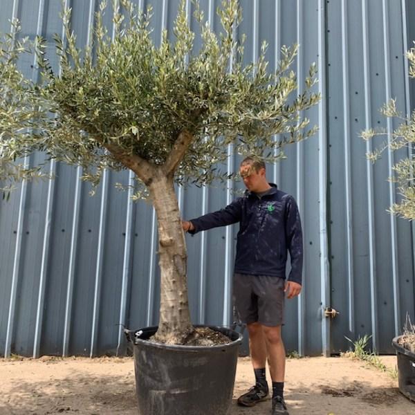 Olive Tree Specimen L876