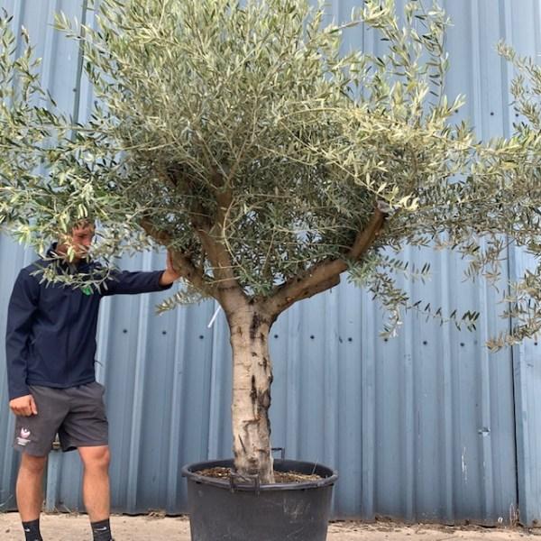 Olive Tree Specimen L899
