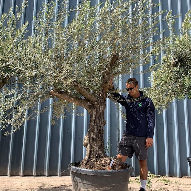 Olive Tree Specimen L9