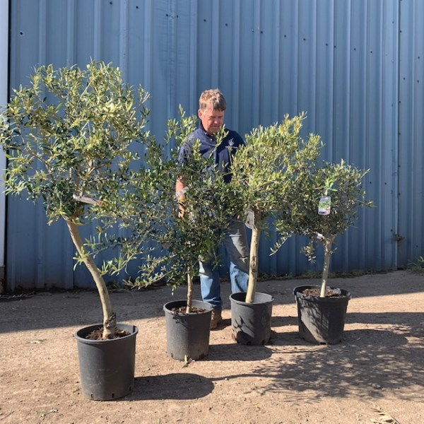 Olive Tree collection of 4-  V163