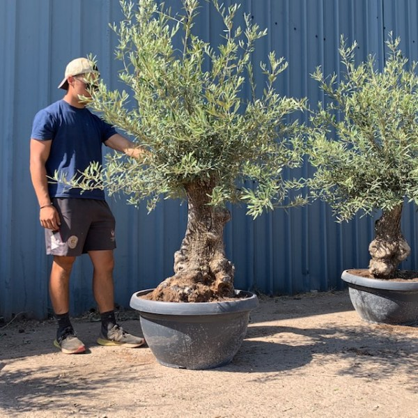 Olive Tree Specimen D69