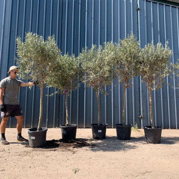 Olive Trees x 5  F60b Batch Clearance Offer