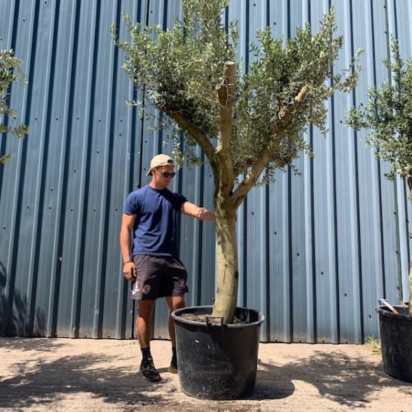 Olive Tree Specimen L1204