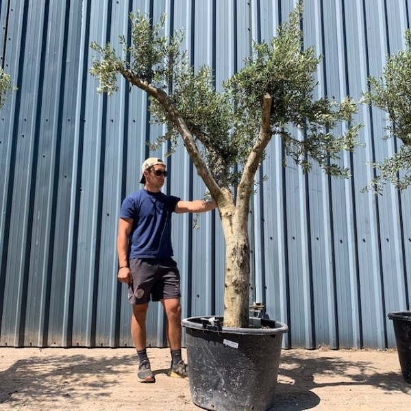 Olive Tree Specimen L1205