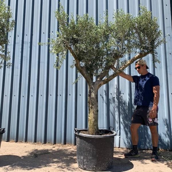 Olive Tree Specimen L1207