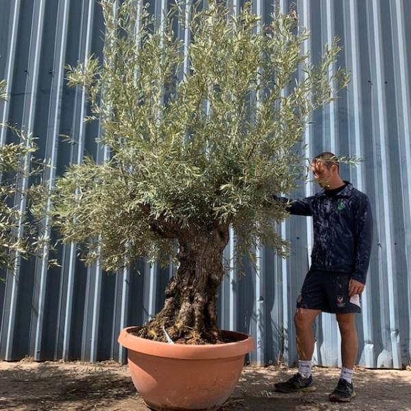Olive Tree Specimen L1396