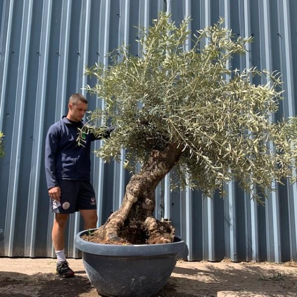 Olive Tree Specimen L1397