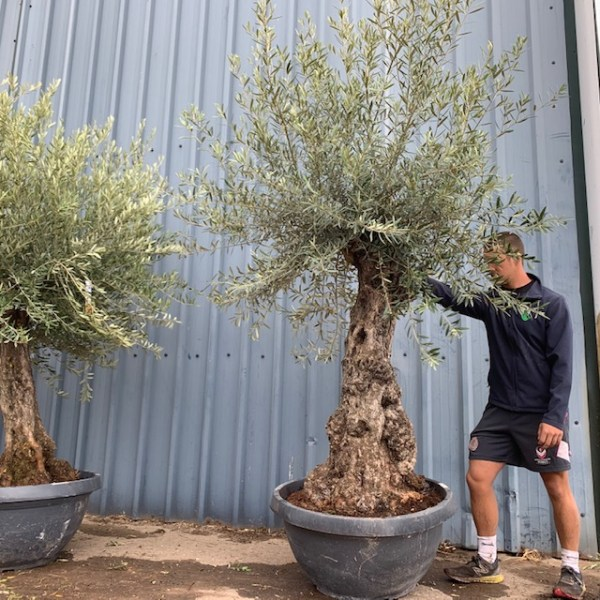 Olive Tree Specimen L1402