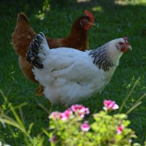 les poulettes Iris et Capucine de la villa Hlélianthe- photo tête en Leyre