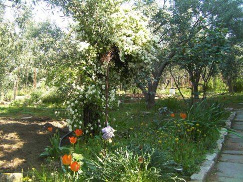 Сад с оливковыми деревьями