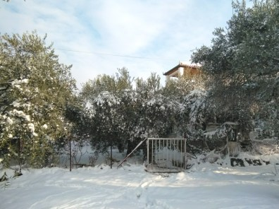 Snow-covered olive trees