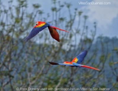 lapas flying costa rica macaw