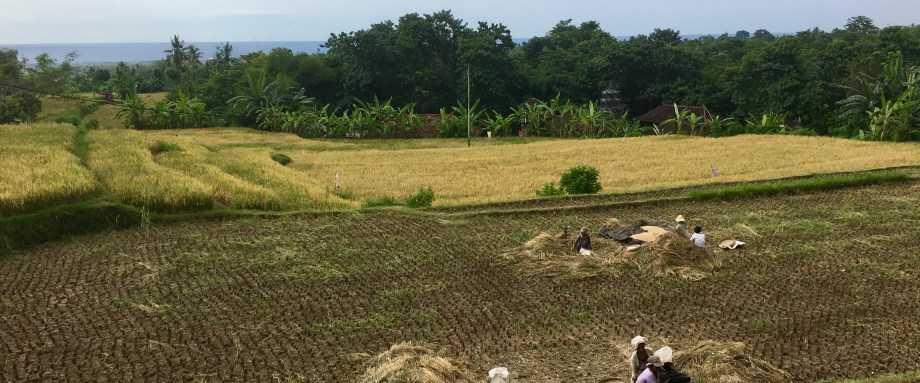 View from the 'bale bengong': the rice fields being harvested