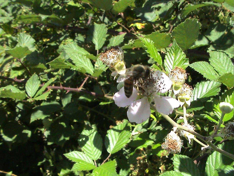 abeilles pap juil09 024