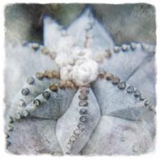 estrella(cactus)