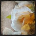 rose-gelee