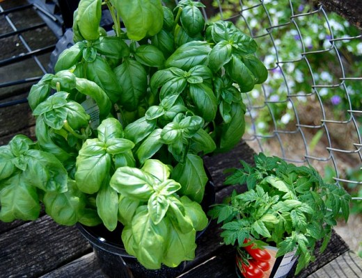 basil plant and tomato seedlings