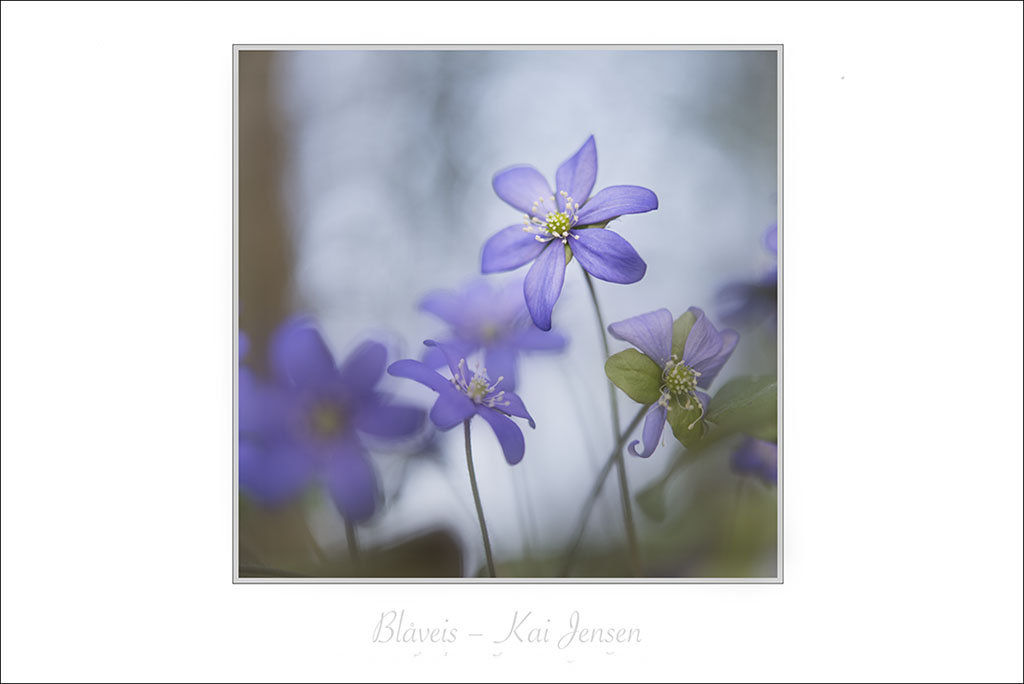 vår blåveis kai jensen naturfotograf