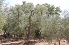 Oliven rund herum