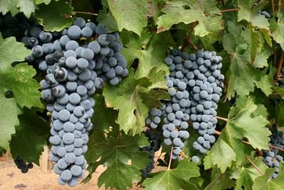 Grappes de raisin mûr