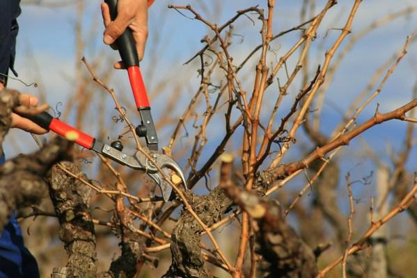 Gros plan sur un sécateur taillant la vigne, élément du terroir