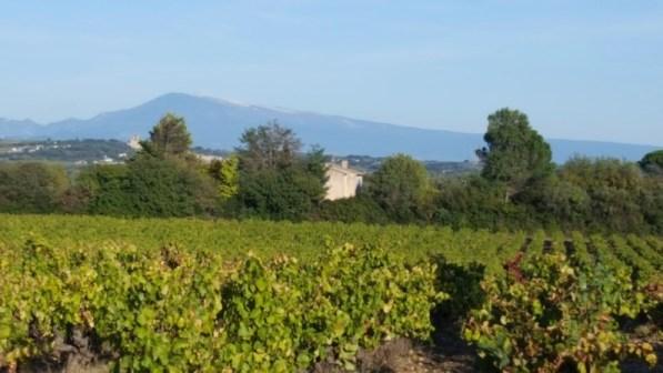 Vignes de Tavel avec vue du Mt Ventoux
