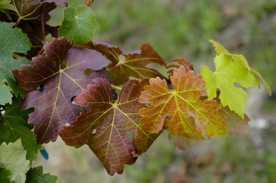 Feuilles de vignes en automne - Vignoble de Pessac-Léognan