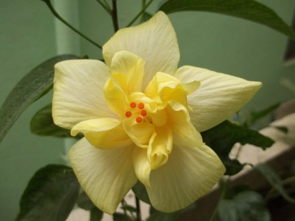 The ever charming yellow hibiscus